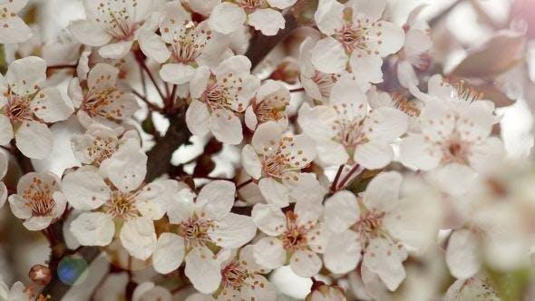 Sunny Spring Morning in Plum Garden